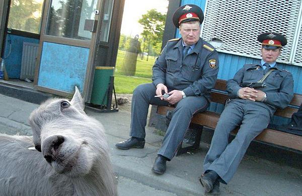 Ziege Geist Polizei