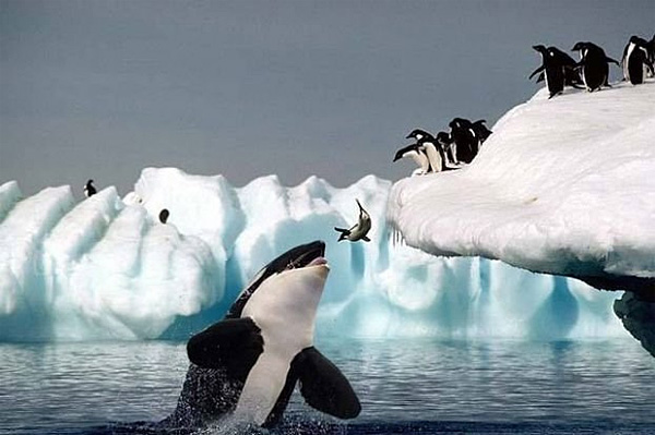 Orka Pinguine