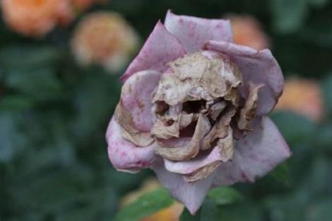 Totenkopf Rose