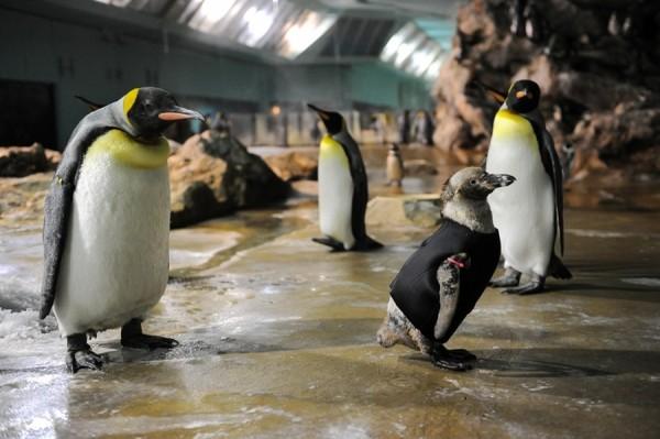 Pinguin im Taucheranzug
