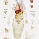 Meerjungrau Anatomie