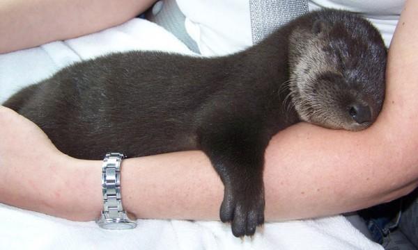 Schlafender Otter