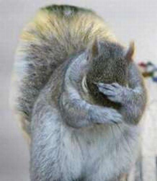 Facepalm Eichhörnchen
