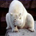 Facepalm Eisbär