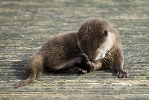 Faecpalm Otter
