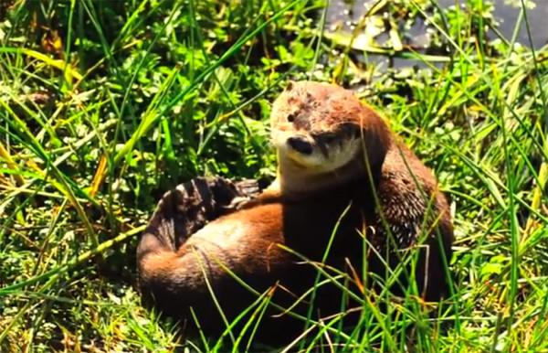 Sutro Sam, Otter