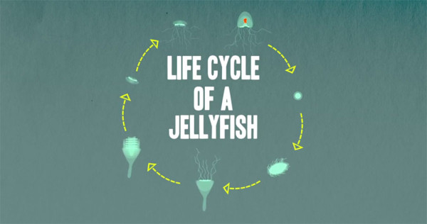 lifecycle-jellyfish