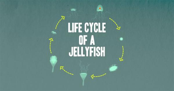 lifecycle-jellyfish