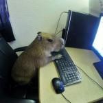 Capybara am Computer