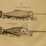 Narwal und See-Einhorn