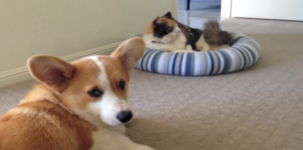 Cat vs. Corgi