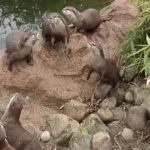 Otters find a butterfly