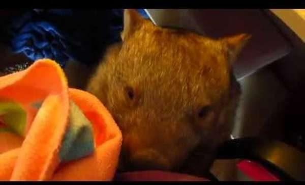 Wombat steals Glove