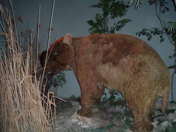 Riesenwombat