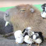 Capybara JoeJoe with Chicks