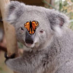 Koala + Schmetterling