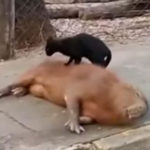 Cat massages Capybara