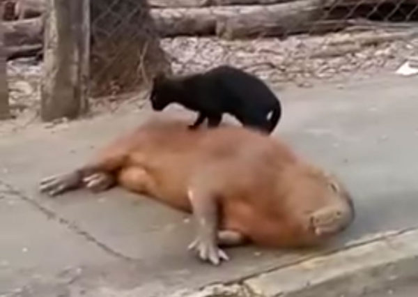 Cat massages Capybara
