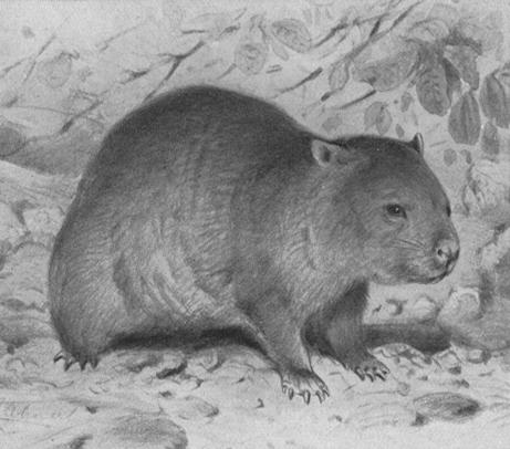 Brehms Wombat